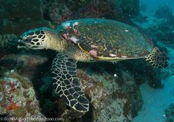 BD-070402-Similan--Eretmochelys-imbricata-(Linnaeus.-1766)-[Hawksbill-turtle.-Karettsköldpadda].jpg